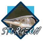 sturgeon gallery page
